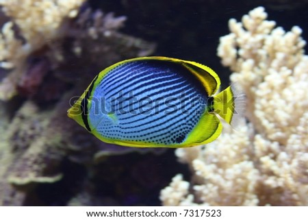 Black Backed Butterfly Fish among colorful corals - stock photo