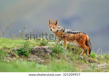 Black-backed Jackal (Canis mesomelas) in natural habitat, South Africa - stock photo