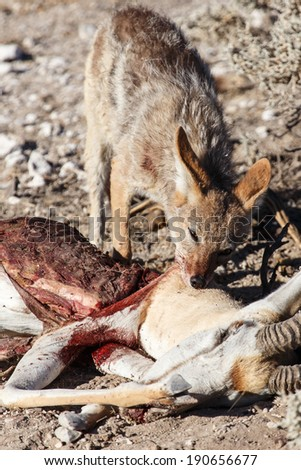 Black Backed Jackal eating a Springbok Antelope at Etosha National Park in Nambia, Africa - stock photo