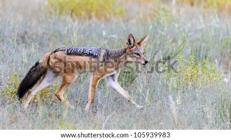 Black backed Jackal hunting in short grass in Kgalagadi - stock photo