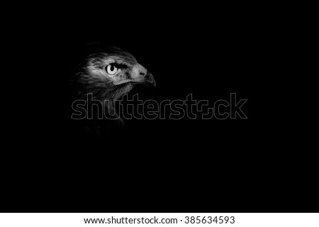 black background and eagle eye Buzzard / Buteo buteo - stock photo