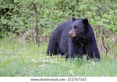 Black bear - stock photo