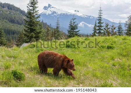 Black bear cinnamon color  - stock photo