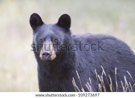Black Bear closeup. - stock photo
