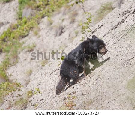 Black Bear cub climbing a hill. - stock photo