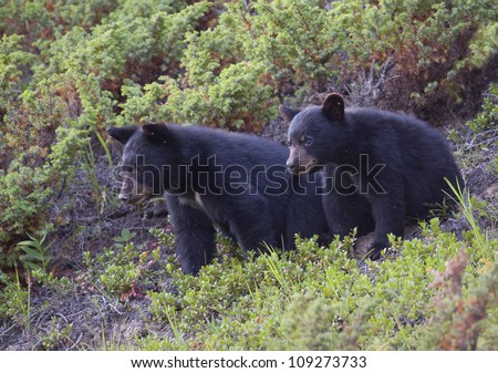 Black Bear cubs watching below. - stock photo
