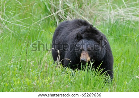 Black Bear Grazing in Yellowstone National Park - stock photo