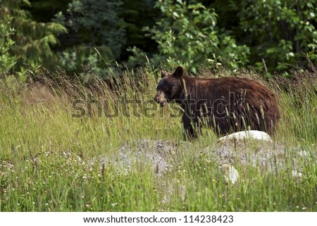 Black Bear in a Wild. Whistler, British Columbia, Canada. Canadian Wildlife Photography Collection. Canadian Black Bear. - stock photo