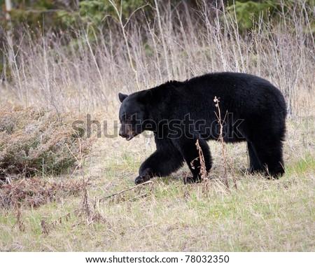 Black bear in Banff national park - stock photo