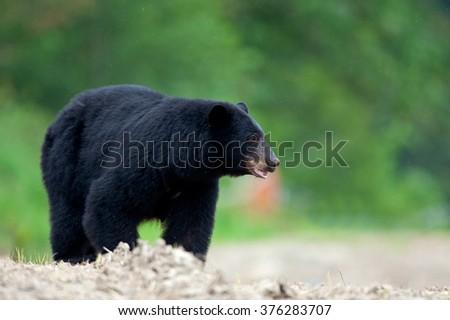 Black bear in British Columbia, Canada - stock photo