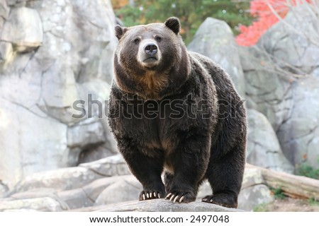 Black Bear in NC Zoo - stock photo