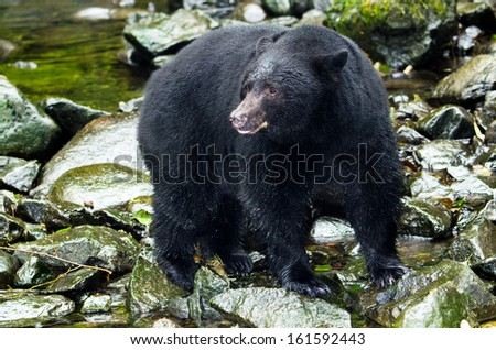 Black Bear in  river,Vancouver Island, Canada - stock photo