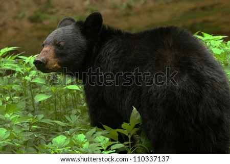 Black Bear In Tennessee - stock photo