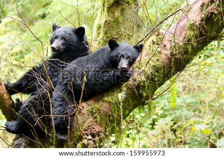 Black Bear Mother & Cub Resting in a Tree, British Columbia, Canada - stock photo
