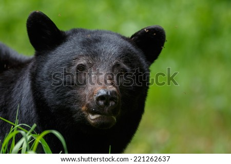 Black bear portrait - stock photo