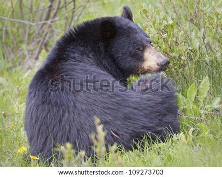 Black Bear resting. - stock photo