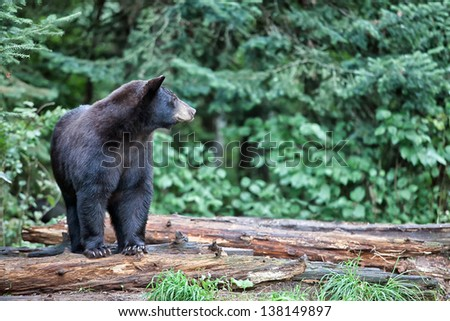 Black bear standing on fallen logs, alert and cautious.  Summer in northern Minnesota - stock photo