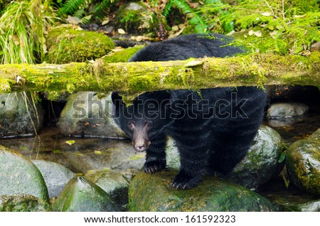 Black Bear under a moss covered log, Vancouver Island, Canada - stock photo