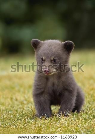 Black Bear (Ursus americanus) Cub - stock photo