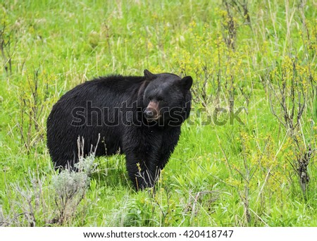 Black Bear (Ursus americanus) seen in Yellowstone National Park. Wyoming, USA - stock photo