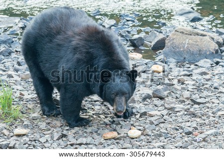 black bear while eating a donut on grass background - stock photo