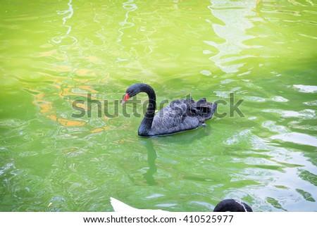 Black beautiful swan swims on water - stock photo