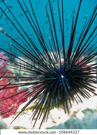 Black beautifull sea urchin at Shark Point, Thailand - stock photo