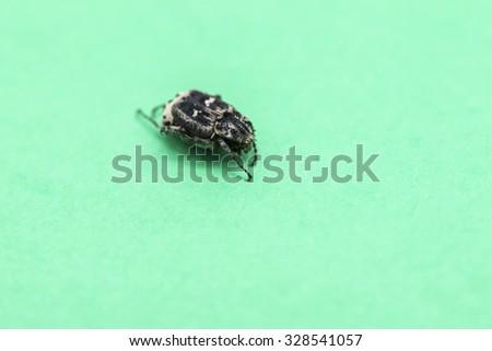 black bedbug on a green background - stock photo