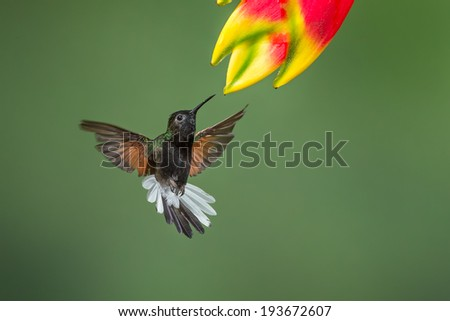Black-bellied Hummingbird - stock photo