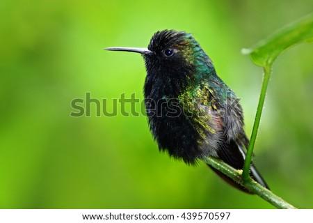 Black-Bellied Hummingbird, Eupherusa nigriventris, rare endemic hummingbird from Costa Rica, black bird sitting on a beautiful green flower, tropical forest, animal in the nature habitat. - stock photo