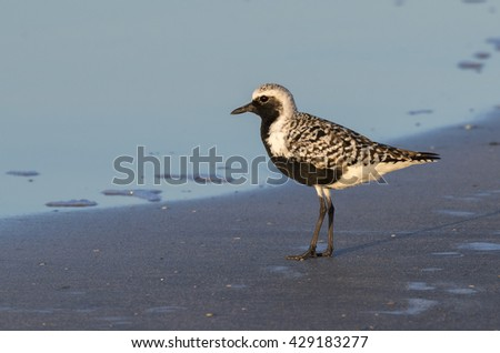 Black-bellied, or grey plover (Pluvialis squatarola) in breeding plumage on the ocean beach, Galveston, Texas, USA. - stock photo