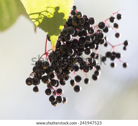 black berries on a bush in nature - stock photo