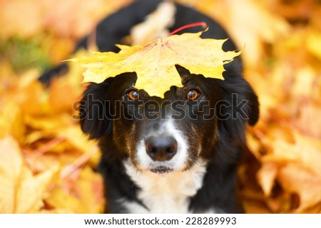 Black border collie dog and maple leaf, autumn - stock photo