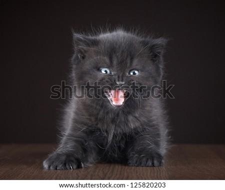 black british short hair kitten - stock photo