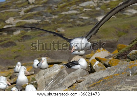 Black-browed albatross (Diomedea melanophris) flying over the colony on Saunders Island, Falkland Islands - stock photo