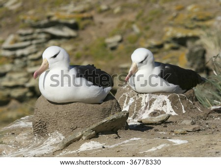 Black-browed albatross (Diomedea melanophris) on Saunders Island, Falkland Islands - stock photo