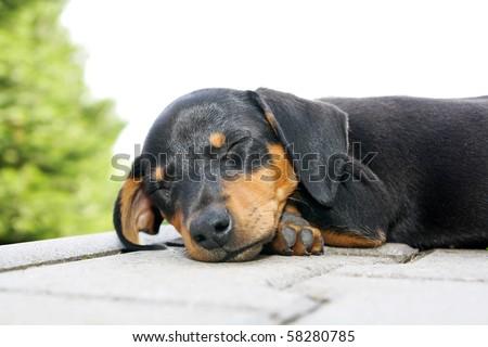 Black brown small dog sleep on floor - stock photo