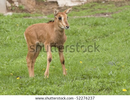 black buck's baby - stock photo