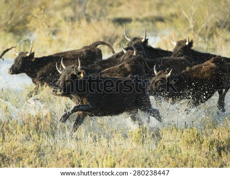 Black Bulls of Camargue France running in water - stock photo