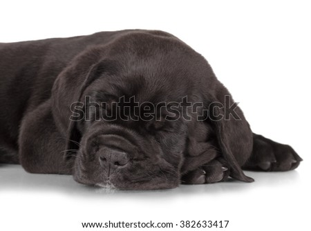 Black Cane Corso puppy isolated on white background. Front view, lying, slepping, close up. - stock photo
