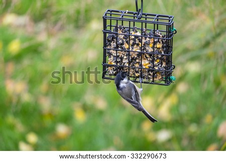 Black-capped Chickadee Feeding on a Seed Cake in a Backyard Series - stock photo