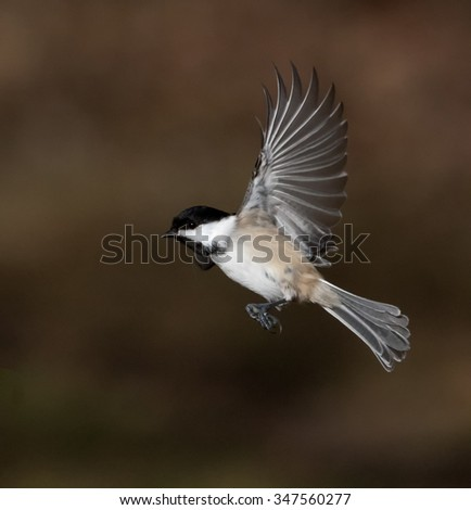 Black-Capped Chickadee in Flight - stock photo