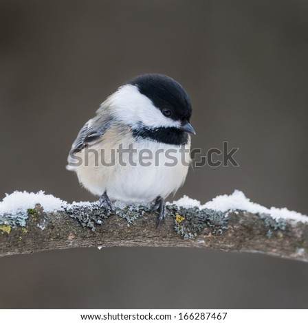 Black-Capped Chickadee in Winter  - stock photo