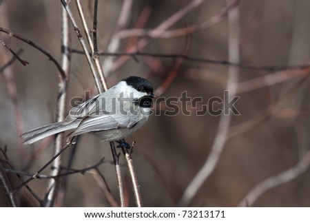 black capped chickadee nestled on a branch; background of out of focus bush, trees and branches. soft browns and reds of the forest - stock photo