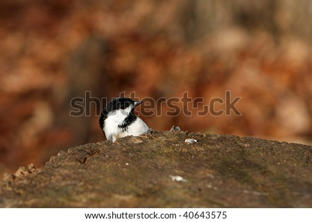 Black-capped Chickadee Peek-a-boo - stock photo