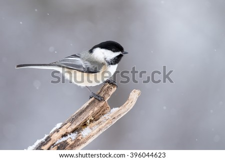 Black-capped Chickadee - Poecile atricapillus, perched on a dead branch during a snow fall. - stock photo