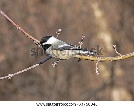 Black-capped Chickadee Warming In The Morning Sun - stock photo