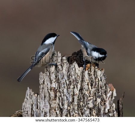 Black-Capped Chickadees in Fall - stock photo