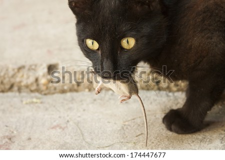 Black cat and mouse in a hunter - prey relation.   - stock photo