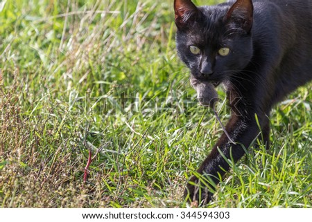 Black cat caught a mouse. (Cat and mouse game) Authentic farm series. - stock photo
